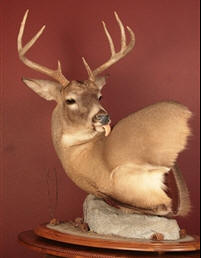 Willard's Taxidermy, Brownsville Minnesota