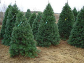 Sand Country Christmas Trees, Clear Lake Minnesota
