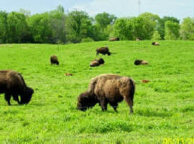 Meyer Buffalo and Beefalo Farm, Elysian Minnesota