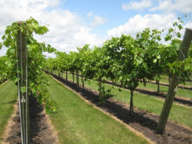 Winterhaven Vineyard and Nursery, Janesville Minnesota