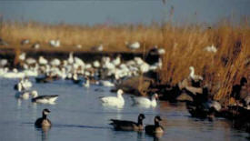 Waterfowl in a wetland on a Wildlife Management Area