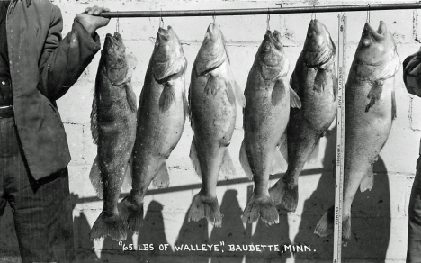 65 pounds of walleye, Baudette Minnesota, 1950's