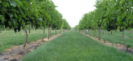 Aberfoyle Vineyards & Nursery, Mapleton Minnesota